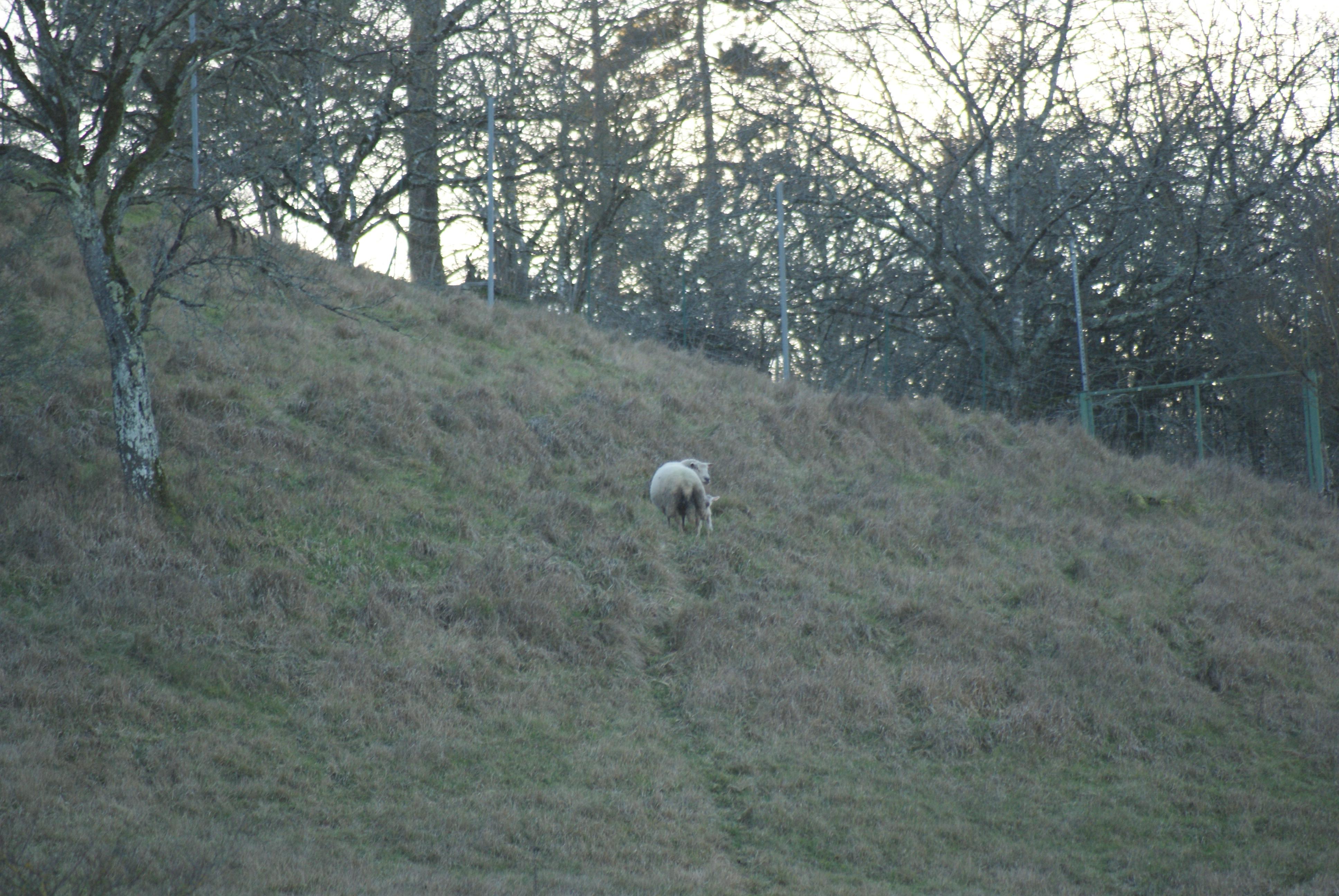 Un agneau est né