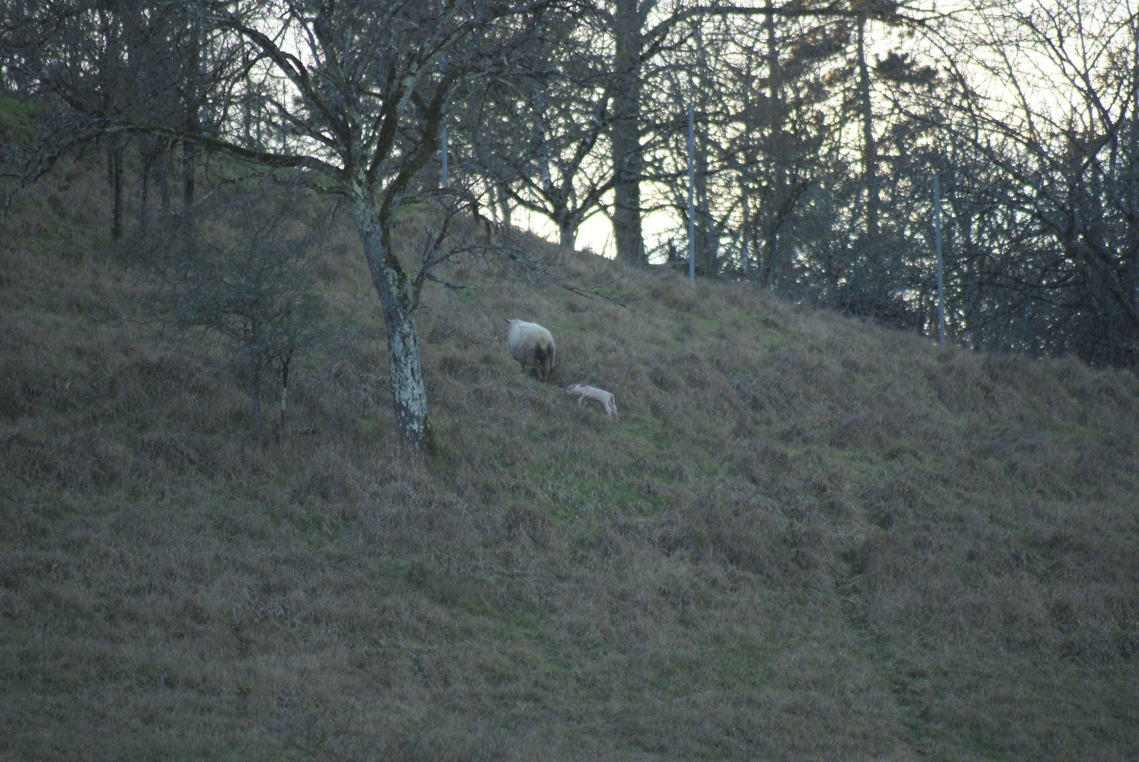 Naissance d'un agneau (suite)