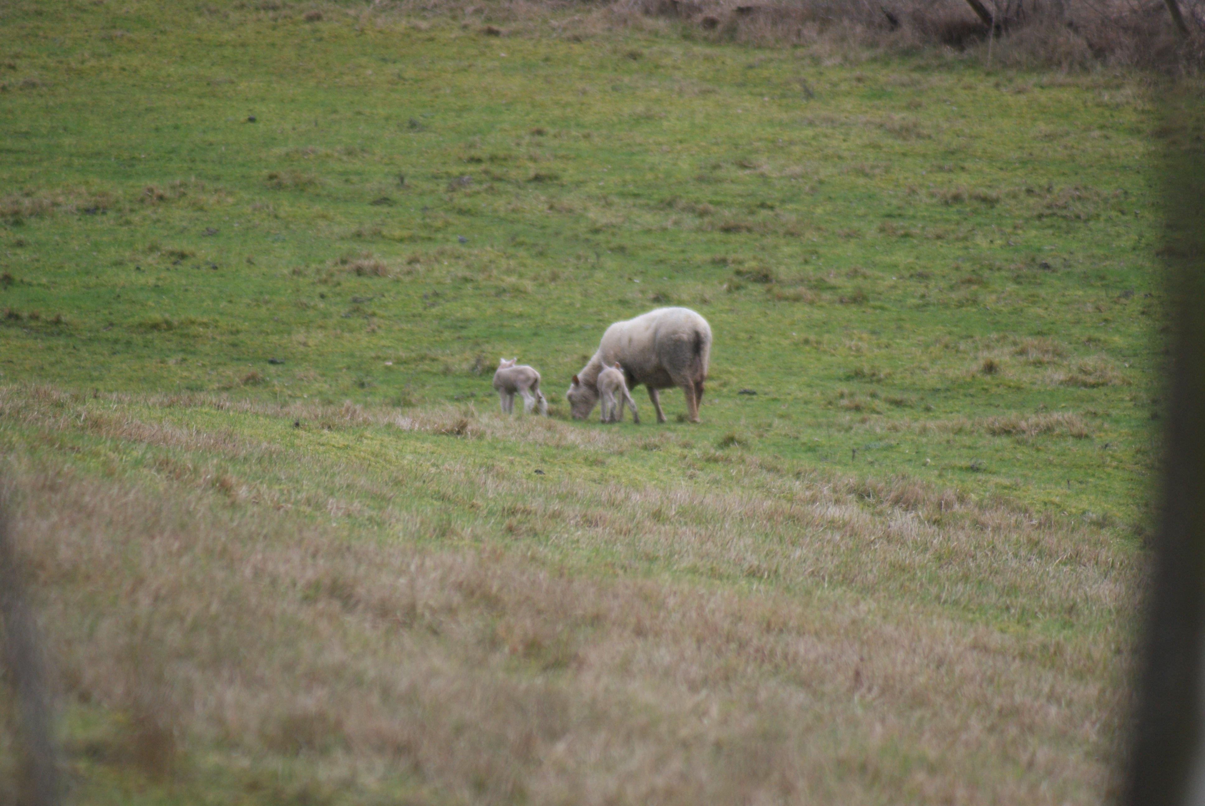 Naissance de jumeaux chez les agneaux!