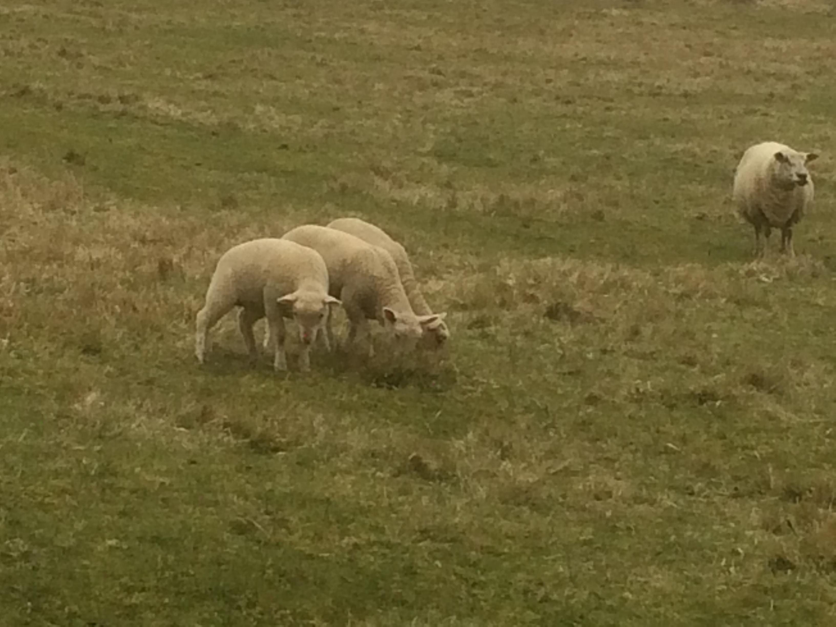 Les 5 agneaux grandissent...